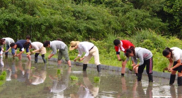 キヤノン田植え 20150606