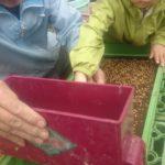 3.そして、いよいよ専用の道具を使って、もち米の種籾を蒔いていきます。