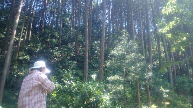 ~森に自生する里山のお茶の木~