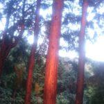 夕日に染まるヒノキ林
