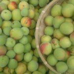 籠いっぱいの梅