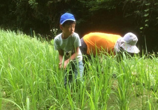 田んぼの草取りは、お米の実りを左右する、とっても大切なお世話です。