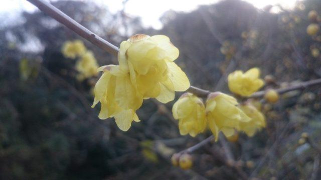~ロウバイの花~