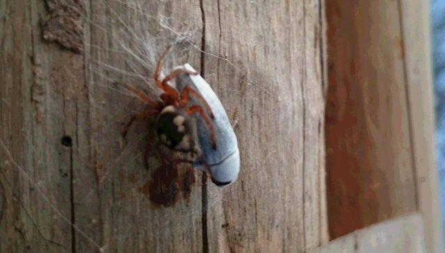 クモが昆虫を、糸でグルグル巻きにして、捕獲してました🔍