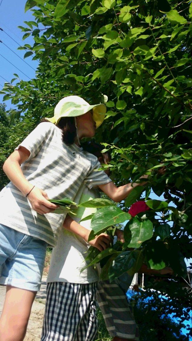 柿の葉の収穫