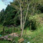 倒れた樹木(右端)