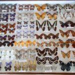 昆虫標本161010_29